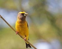 Evening Grosbeak Royalty Free Stock Images