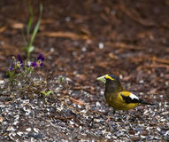 Evening Grosbeak (Coccothraustes vespertinus) Stock Images