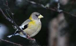 Evening Grosbeak - female Stock Image