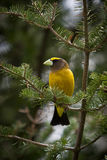 An Evening Grosbeak on Fir Tree Stock Image