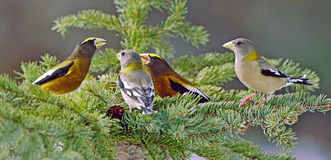 Evening Grosbeak flock Royalty Free Stock Image
