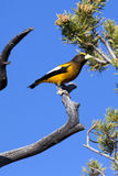Evening Grosbeak / Hesperiphona vespertina Stock Images