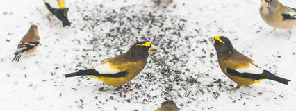 Evening Grosbeaks Coccothraustes vespertinus gathered together eating seed in snow. Royalty Free Stock Image