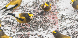 Evening Grosbeaks Coccothraustes vespertinus gathered together eating seed in snow. Stock Photo