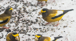 Evening Grosbeaks Coccothraustes vespertinus gathered together eating seed in snow. Royalty Free Stock Photo