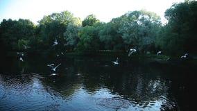 Evening gulls circling stock video