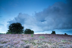 Evening on hill with flowering pink heather Royalty Free Stock Image