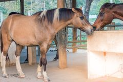In the evening, the horses are resting after being trained in a royalty free stock photos