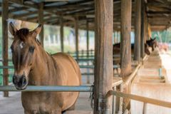 In the evening, the horses are resting after being trained in a stock photography