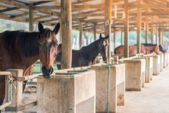 In the evening, the horses are resting after being trained in a stock photo