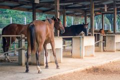 In the evening, the horses are resting after being trained in a royalty free stock photography