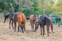 In the evening, the horses are resting after being trained in a royalty free stock images