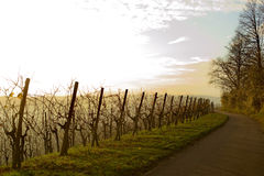 Evening In The Vineyard Royalty Free Stock Photos