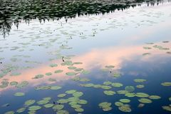 Evening on lake. With water flowers in summer Stock Photography