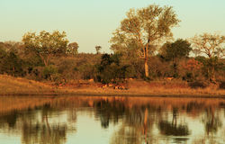 Evening landscape over water in Africa. Evening landscape over a waterhole with impala buck on the bank stock photos