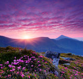 Pink flowers in the mountains Stock Photography