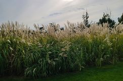 Evening landscape Reed flowers in full bloom for landscaping Royalty Free Stock Images