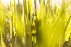 Evening landscape sunset in the meadow, on the grass and yellow plant. Soft selective focus. The evening landscape sunset in the meadow, on the grass and yellow royalty free stock photography