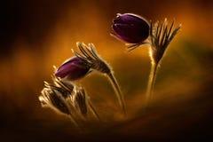 Evening lekką fotografię z pięknym kwiatu pasque kwiatem Zmierzch w naturze Pomarańczowy światło z kwitnienie kwiatem Przyroda w obraz stock