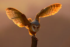Evening light with bird with open wings. Action scene with owl. Owl sunset. Barn owl landing with spread wings on tree stump at th. Evening light with bird with Stock Photography