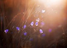 Evening light falling on the grass 2. Evening light falling on the grass and flowers bells Stock Image