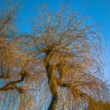 Evening Light Falling on Some Willow Trees. Golden Winter Evening Light Falling on Some Willow Trees Royalty Free Stock Photo