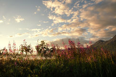 Evening light with fireweed Royalty Free Stock Photo