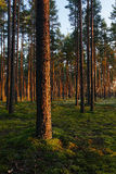Evening light in forest. Golden trees Stock Photos