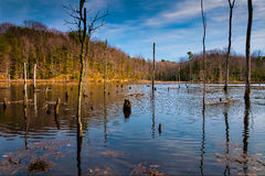 Evening light on a marshy area in Calvert Cliffs State Park, along the Chesapeake Bay in Maryland Royalty Free Stock Images