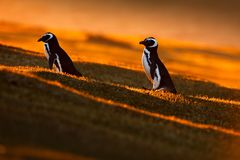 Evening light with penguins. Birds with orange sunset. Beautiful Magellan penguin with sun light. Penguin with evening light. Open. Evening light with penguins Royalty Free Stock Images