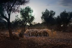 Sheep Flock in Olive Grove stock photos
