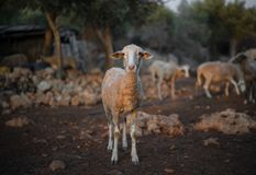 Sheep Flock in Olive Grove stock image
