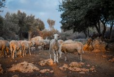 Sheep Flock in Olive Grove royalty free stock photography