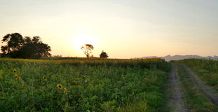 Evening light in sunflower field Stock Photos