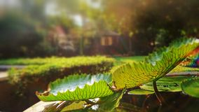 Evening light on waterlily leaves Stock Photography