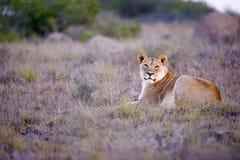 Evening Lioness Stock Photo