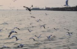 There are many seagulls in the sky Stock Images
