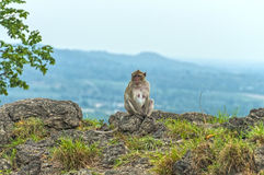 Evening meditation of the monkey Royalty Free Stock Photos