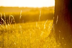 Evening mood, blades of grass and tree. In the back light royalty free stock photo