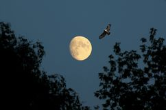 Evening Moon and bird. Moon always attracts our attention. Every time it is different and beautiful. Depending on the atmospheric conditions and the time it is Royalty Free Stock Photos