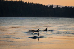 Evening Orcas Royalty Free Stock Image