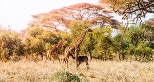 Evening panorama of savanna with giraffes, Amboseli National Park, Kenya, Africa Royalty Free Stock Image
