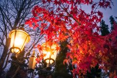 Evening Park Scene in autumn, Japan. Evening scene with a lamp and a flaming red maple tree in a park at Lake Kawaguchi, one of the scenic five lakes in the royalty free stock photos