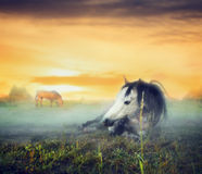 Evening pasture at sunset with horses resting in the fog Royalty Free Stock Images