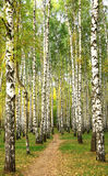 Evening pathway in the autumn birch grove Royalty Free Stock Images