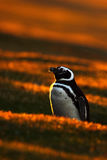 Evening penguin scene in the orange sunset. Beautiful Magellan penguin with sun light. Penguin with evening light. Open penguin bi Royalty Free Stock Photo