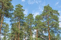 Evening in pine forest in summer royalty free stock images