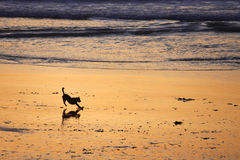 Evening of Play. A silhouette of a dog playing on a sandy beach at sunset, with the waves rolling in on the coast in the background Royalty Free Stock Image