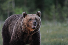 Evening portrait of brown bear Stock Photo