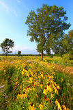 Evening Prairie in Illinois. Prairie flowers illuminated in evening sunlight in northern Illinois Royalty Free Stock Photo